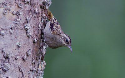 eBird names for Indian species
