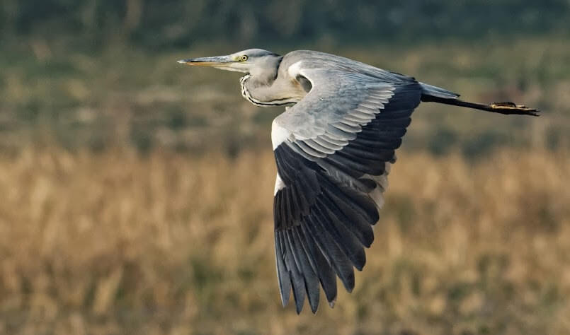 Grey Heron. Photo by Able Lawrence.
