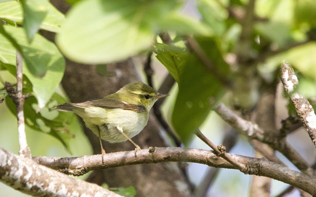 Field Identification of Green and Greenish Warblers