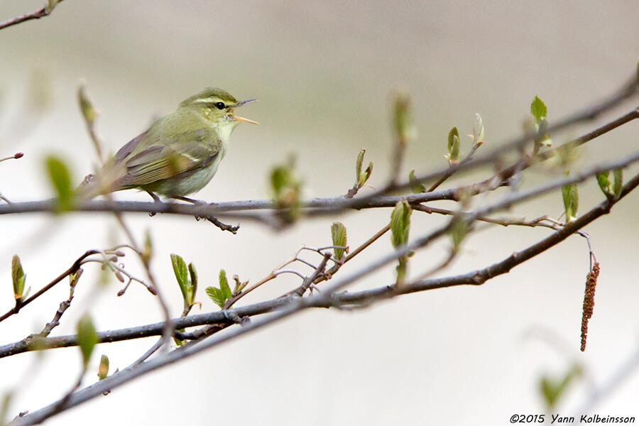 Green Warbler singing - in fresh plumage © Yann Kolbeinsson
