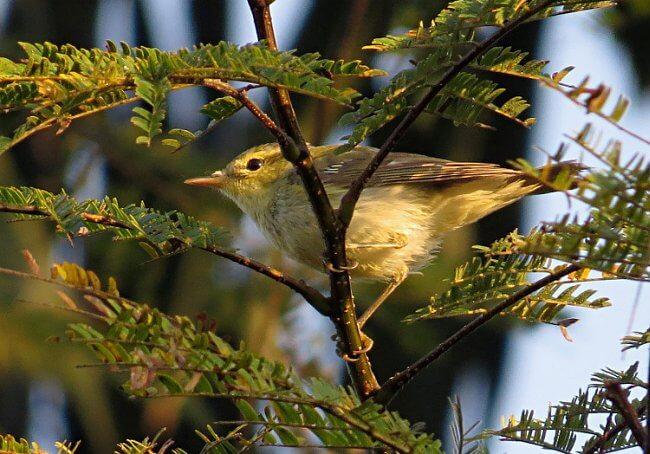 Green Warbler in fresh plumage © Ramit Singal