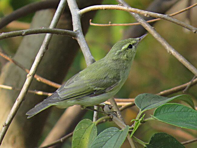 Green Warbler in worn plumage © Ramit Singal