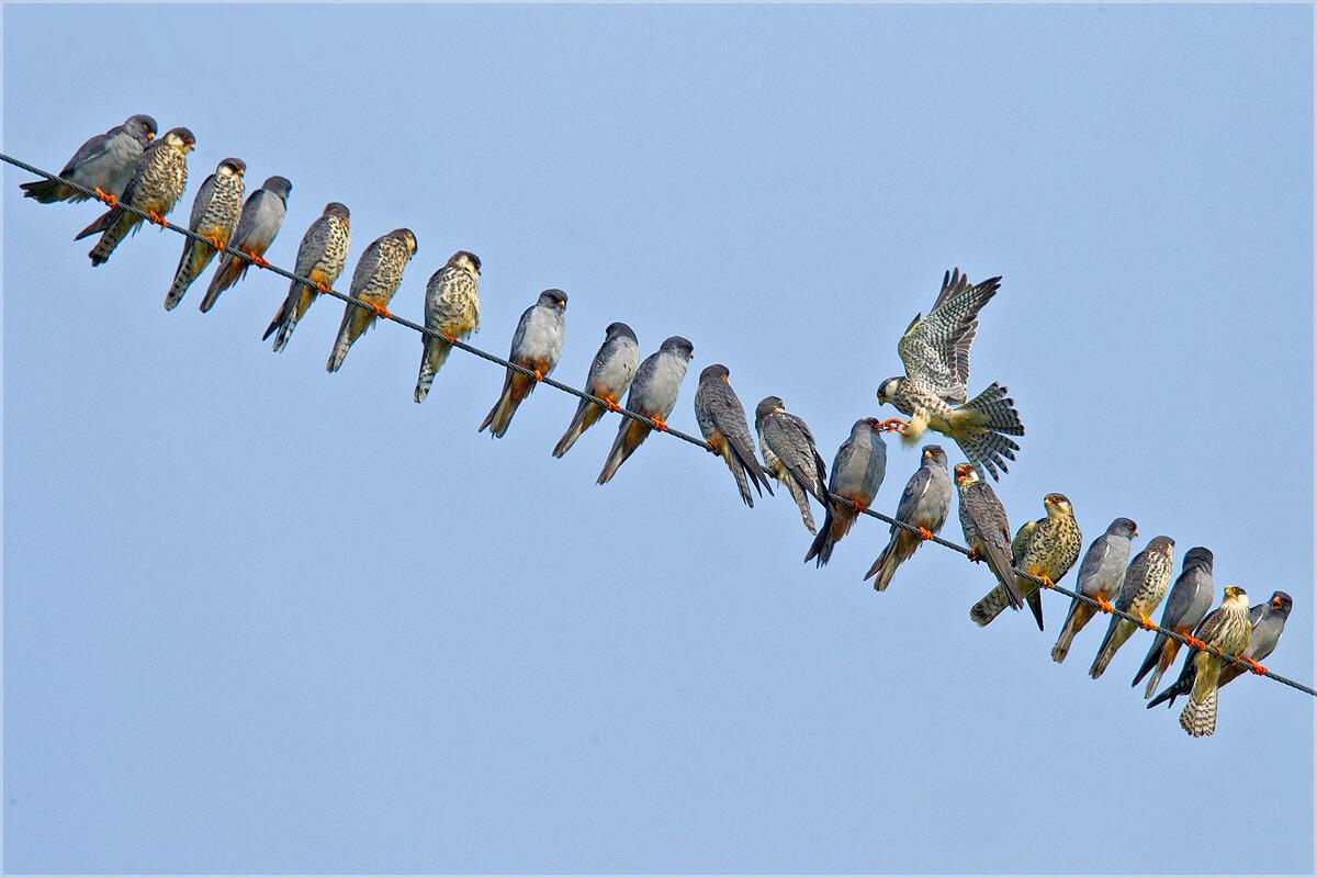 Amur Falcons in Nagaland © Ramki Sreenivasan