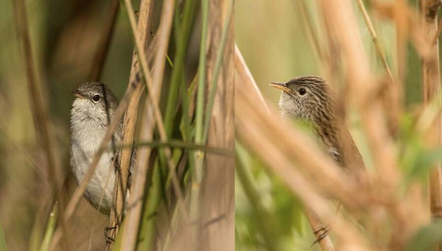 Swamp Prinia (L) and Rufous-vented Prinia (R) © Shashank Dalvi