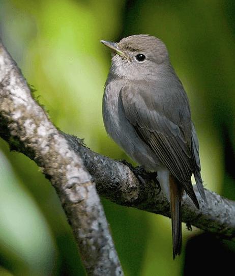 Rusty-tailed Flycatcher © Shiva Shankar