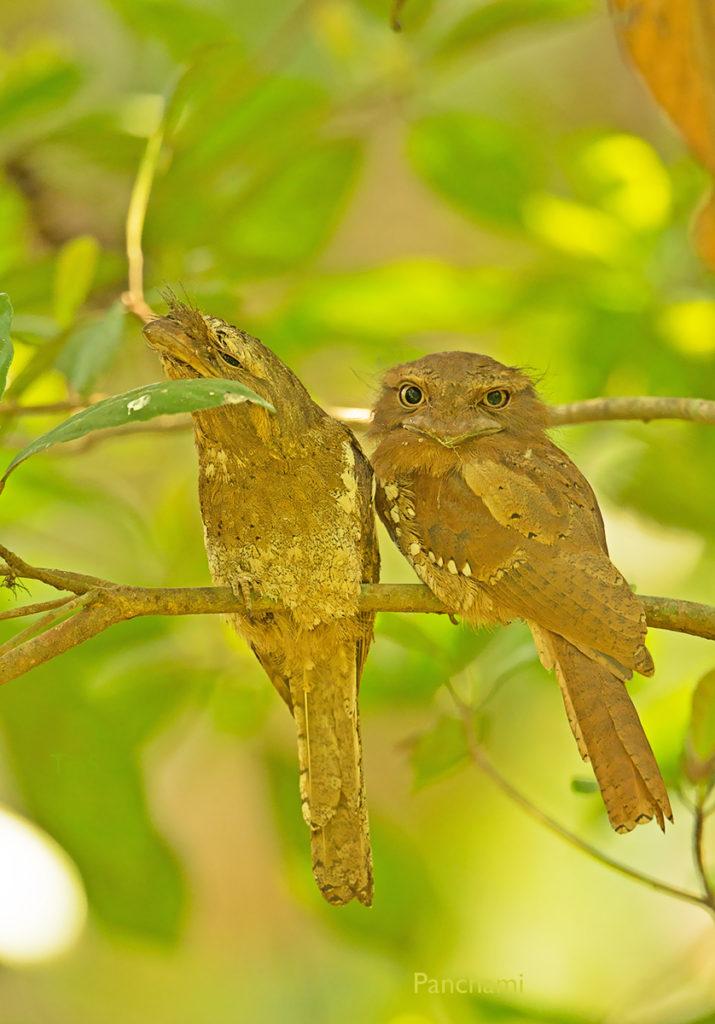 Sri Lanka Frogmouth © Panchami Manoo Ukil