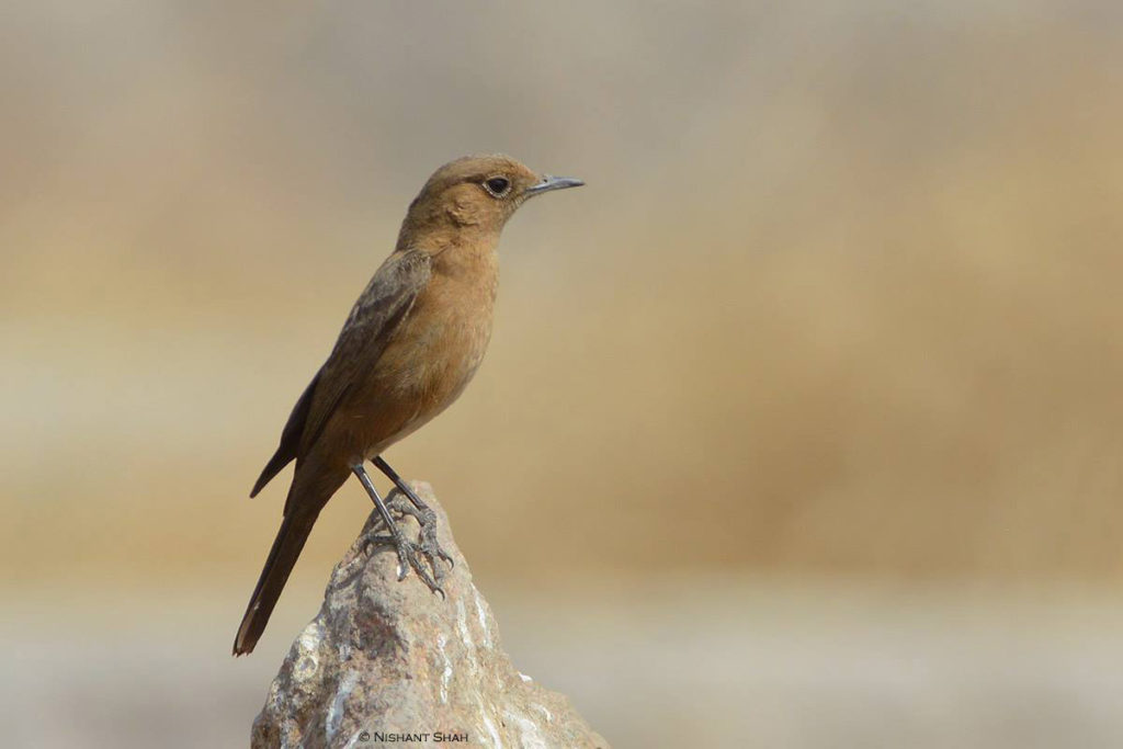 Brown Rock Chat or Indian Chat © Nishant Shah