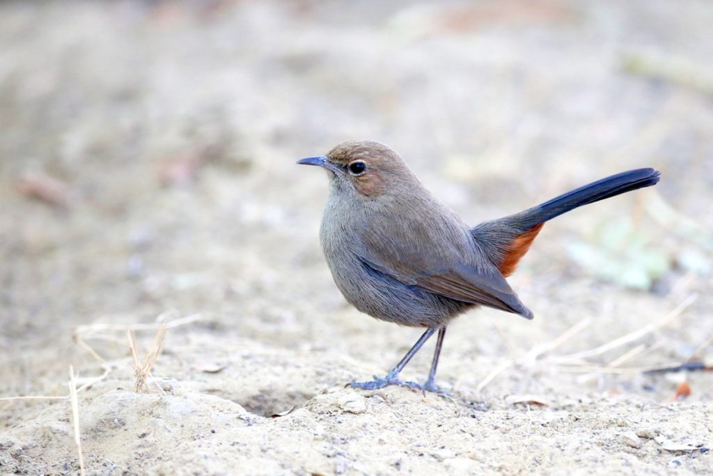 Indian Robin (female) © Ting-Wei Hung