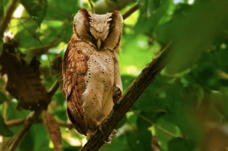 Sri Lanka Bay-Owl © Biju P. B.