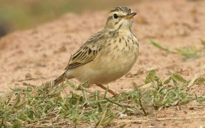 Is that a Pipit or a Lark?
