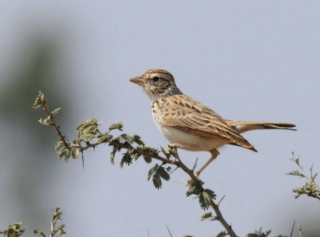 An Indian Bushlark © Albin Jacob (See in checklist)