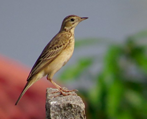 Note the overall lighter build, slender beak, exposed nostrils, medium-length tail © Ramit Singal