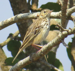 Tree Pipit. Note the lean build, slender bill, exposed nostrils © Syed Muzamil (See in checklist)