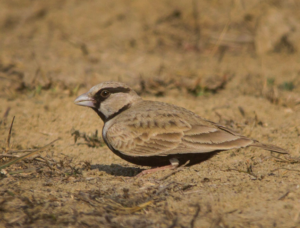 Ashy-crowned Sparrow-lark. Note the bulky structure, heavy bill, short tail, crouched stance © Prashant Kumar (see in checklist)