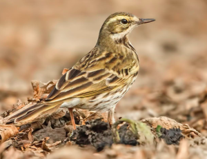 Rosy Pipit. Note the longer tail, slim beak, slender structure, upright looking stance © Pranjal J Saikia