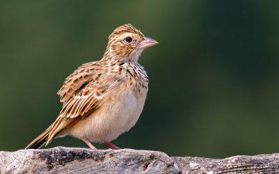 Bushlarks, Skylarks, 'crested' Larks