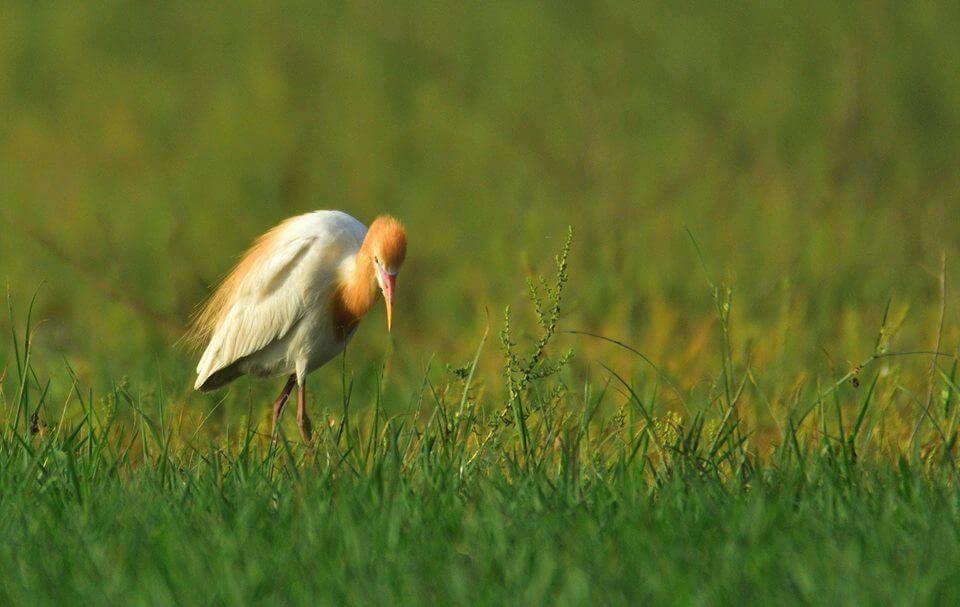 Cattle Egret in breeding plumage. From this birdlist by Akhil Gupta in Delhi.