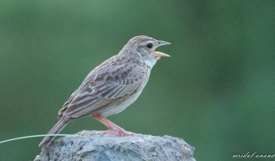 Singing Bushlark © Mridul Anand (See in checklist)