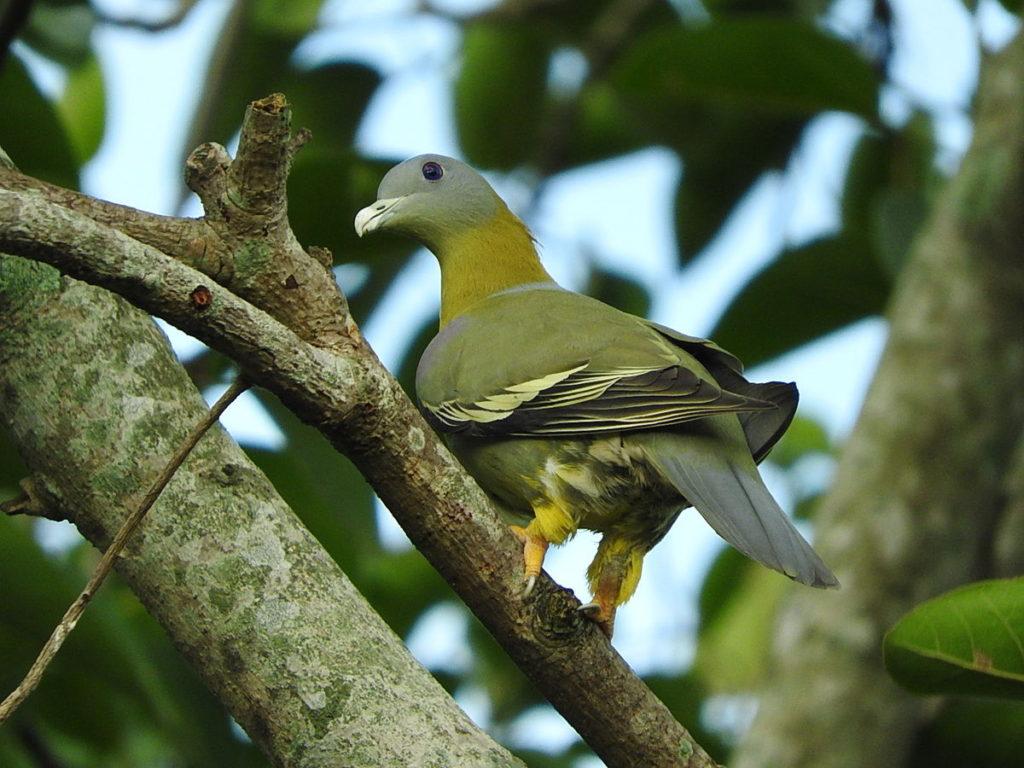 Yellow-footed Green Pigeon © Namassivayan Lakshmanan (checklist)