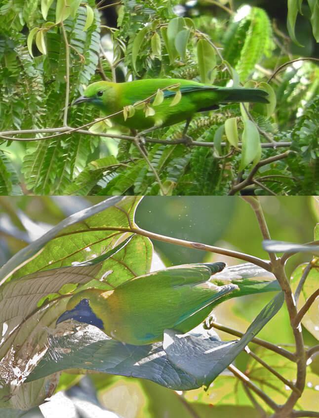 leafbird_blue-winged_pair