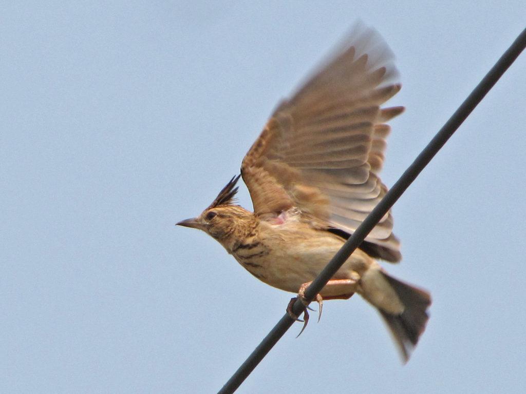 Malabar Lark taking off - note the pointy crest, short bill, darker tones than Crested Lark © Ramit Singal