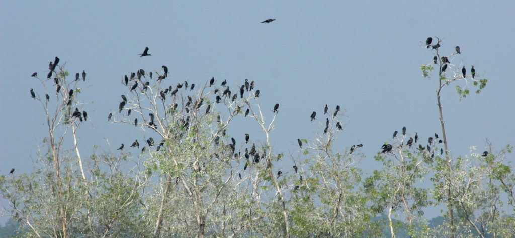 Great Cormorants at roost