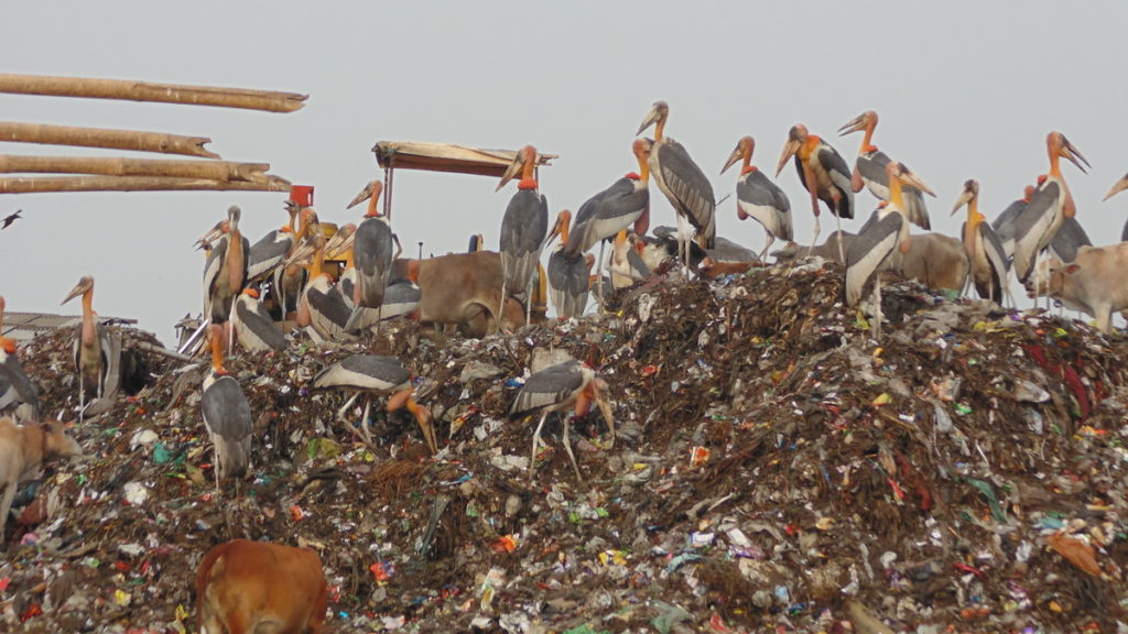The critically endangered Greater Adjutant storks at a garbage dump in Guwahati © Jaydev Mandal (Checklist)