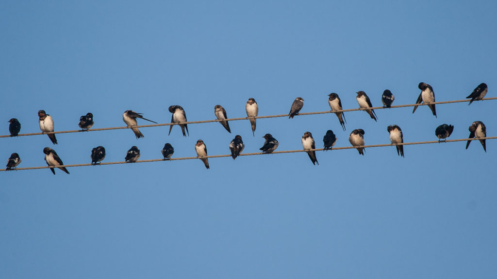 Barn Swallows and Pale/Sand Martin