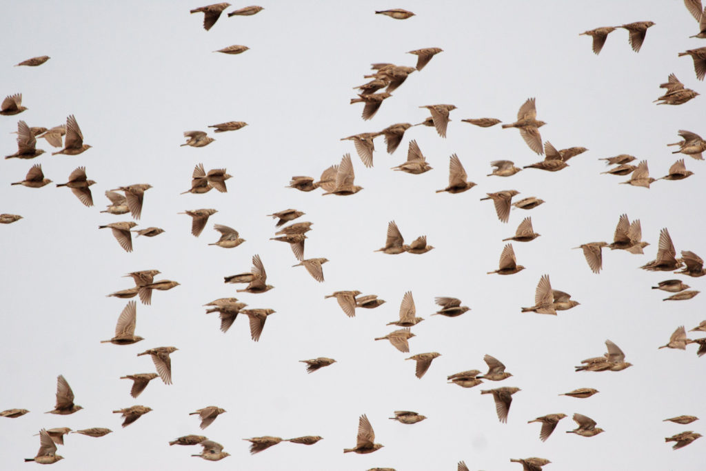 When patch birding, don't forget to look up!Greater/Sykes's Short-toed Lark © Mike Prince