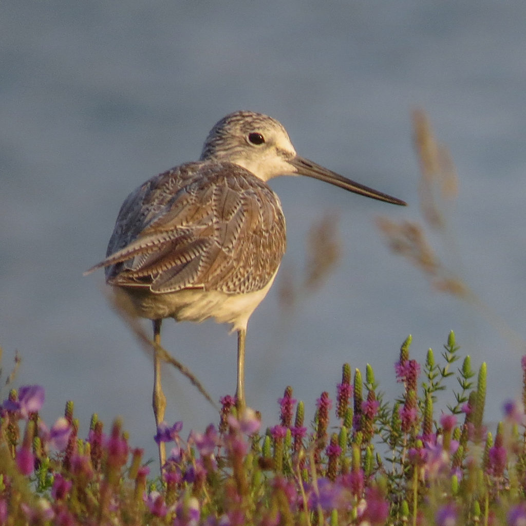 Whether on the coast or inland, can you find a Greenshank during this year's Global Shorebird Count? © Ramit Singal