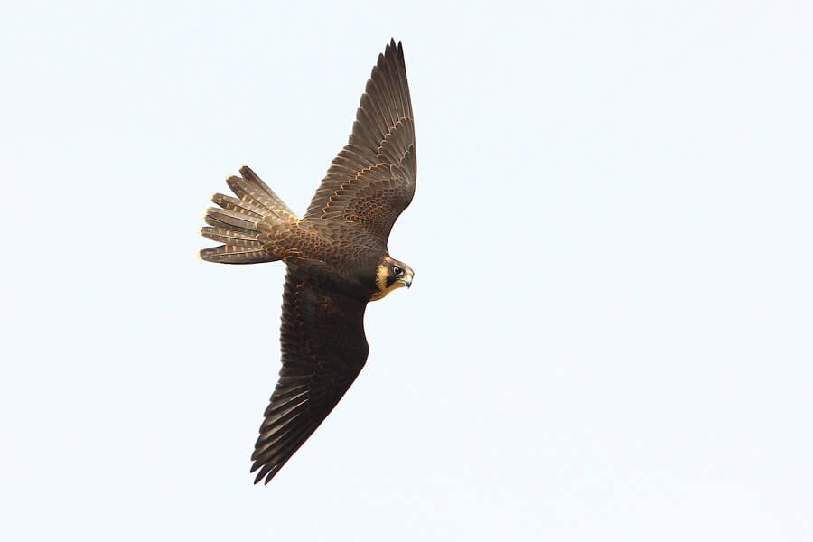 Peregrine Falcon © Vinoba Anand (Checklist)