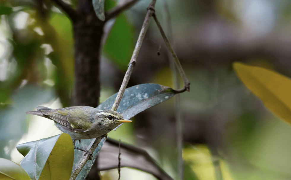 Western Crowned Leaf Warbler © Shivashankar Manjunatha (Checklist)