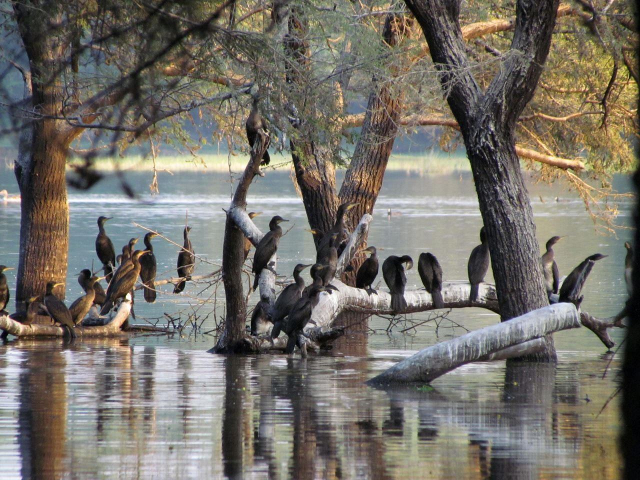 Cormorants Clarified