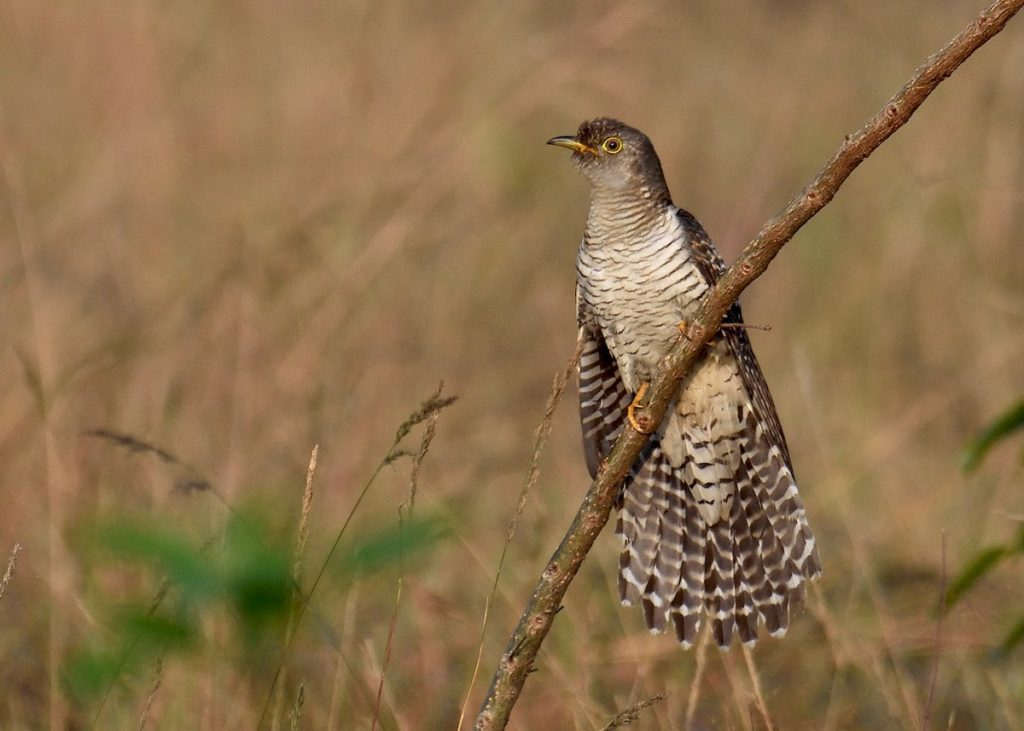 Common Cuckoo Cuculus canorus - hepatic form © Mallika Rajasekaran