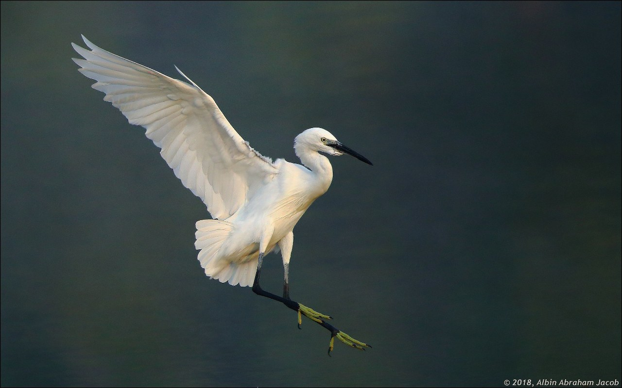 What's that White Egret sp?