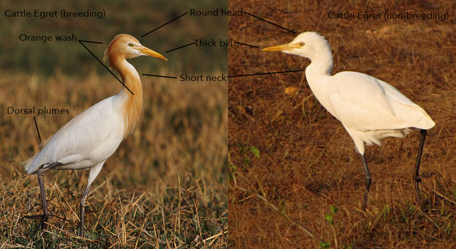 Cattle Egret in breeding plumage (left, © Albin Jacob) and in non-breeding plumage (right, © Ramit Singal)