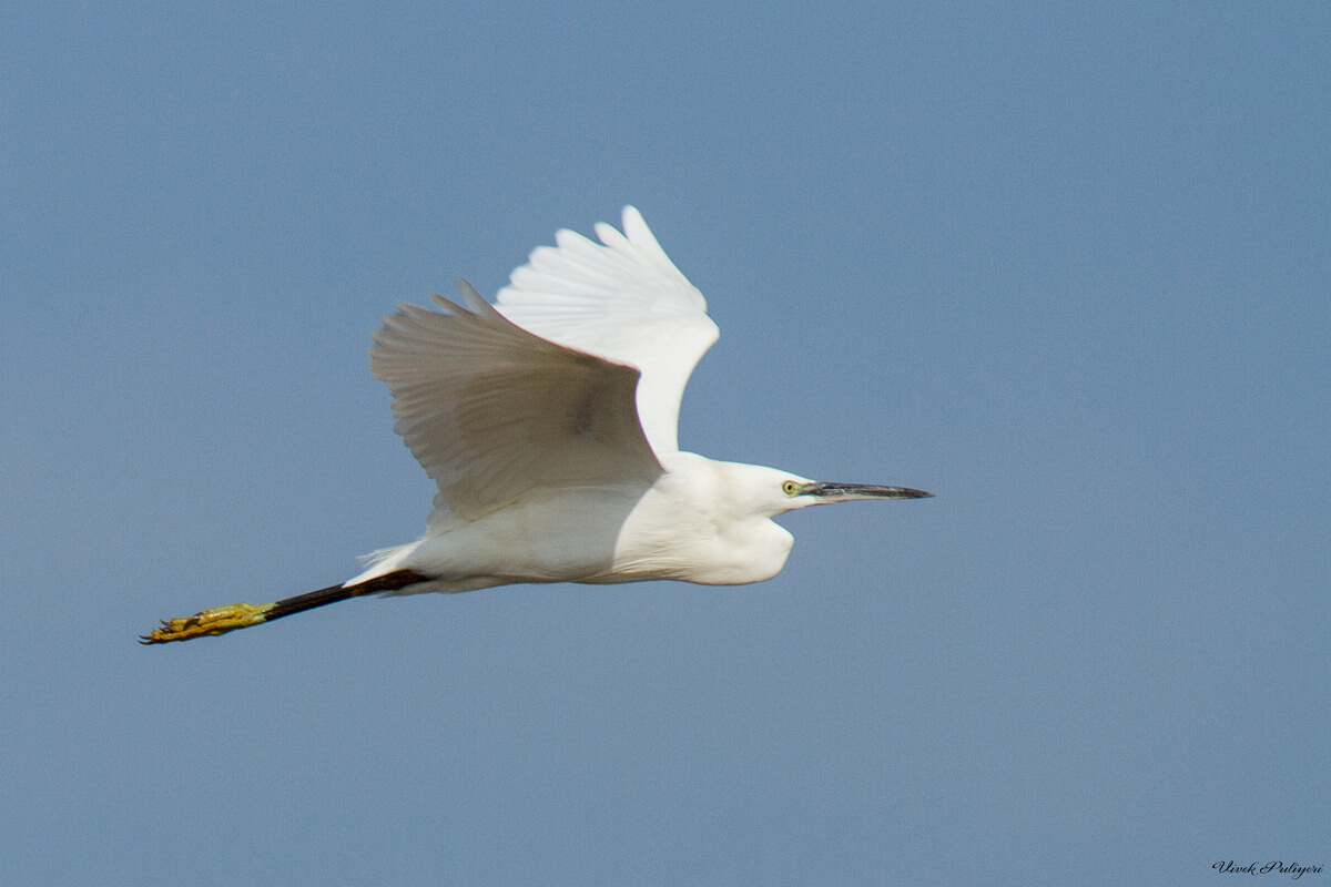 What's that White Egret sp? – Bird Count India