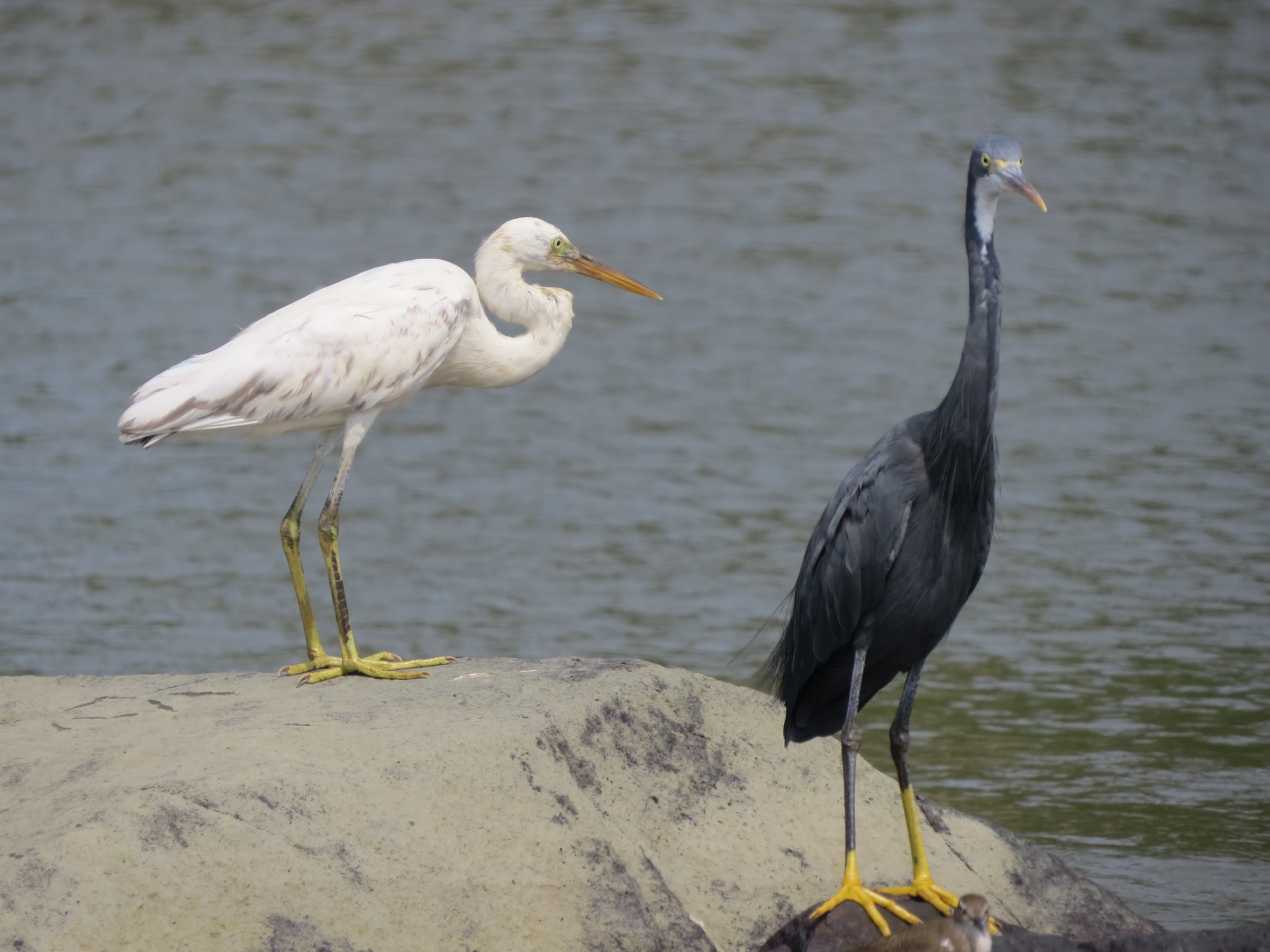 Dark egrets can be white…