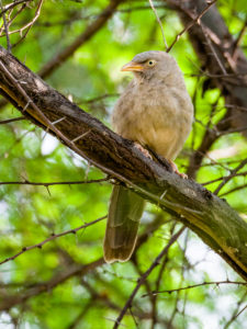 Jungle Babbler © Mike Prince