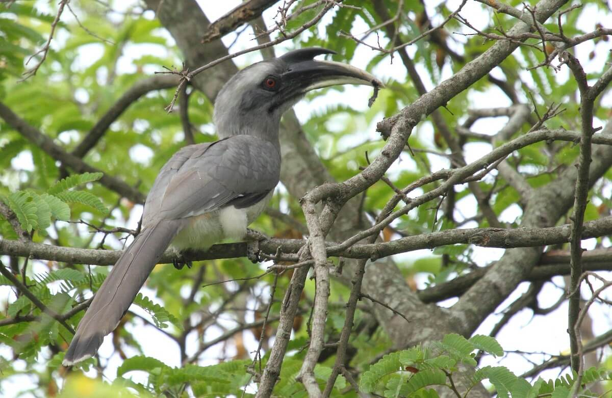 Indian Grey Hornbill nesting earlier in Indore