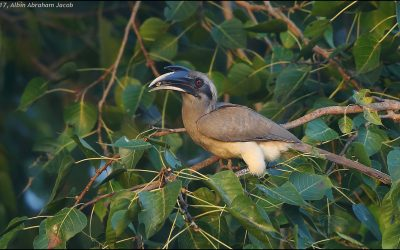 Indian Grey Hornbill nesting earlier in Indore