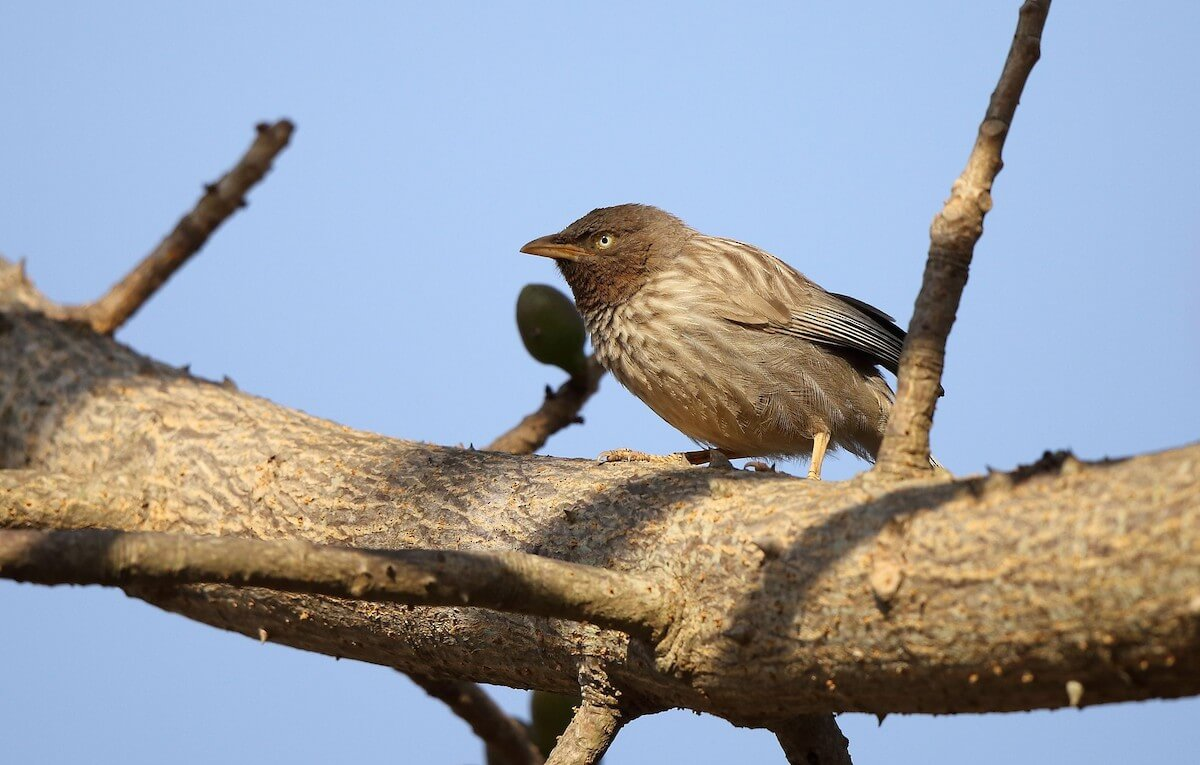 Any black on the wings, Mr. Jungle Babbler?