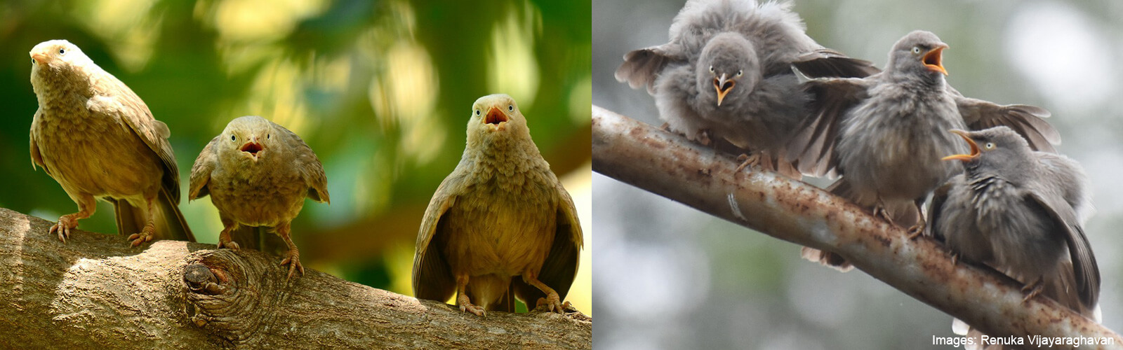 The Jungle Babbler and its Six Sisters