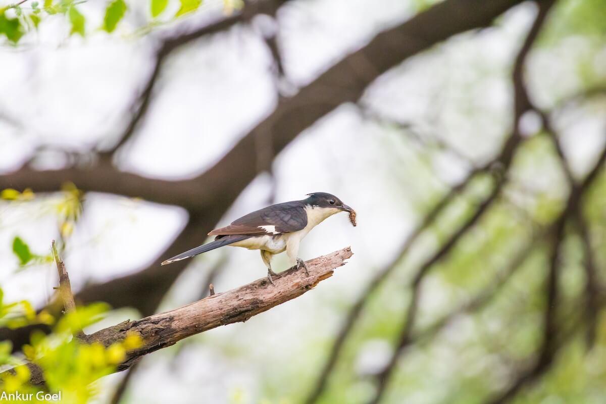 The Rain Bird and the Monsoon