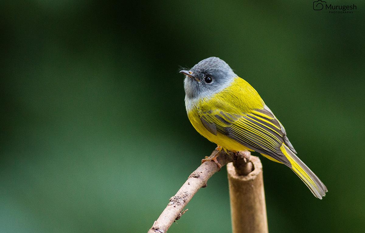 Birder Profile – Murugesh Natesan