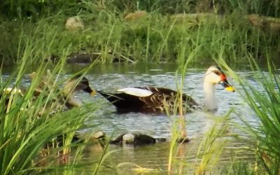Using a pair of binoculars and a smartphone to take bird photographs