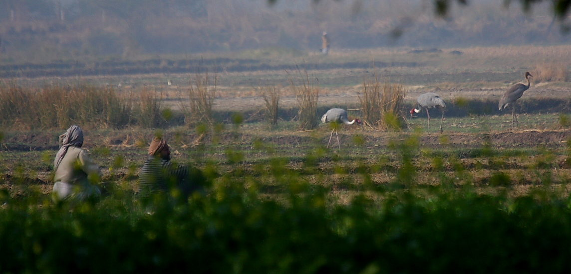 In A Crowded State, Farmers And Sarus Cranes Coexist