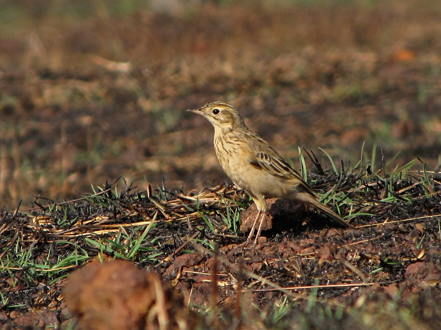 Identifying Pipits: Blyth's and Richard's Pipits