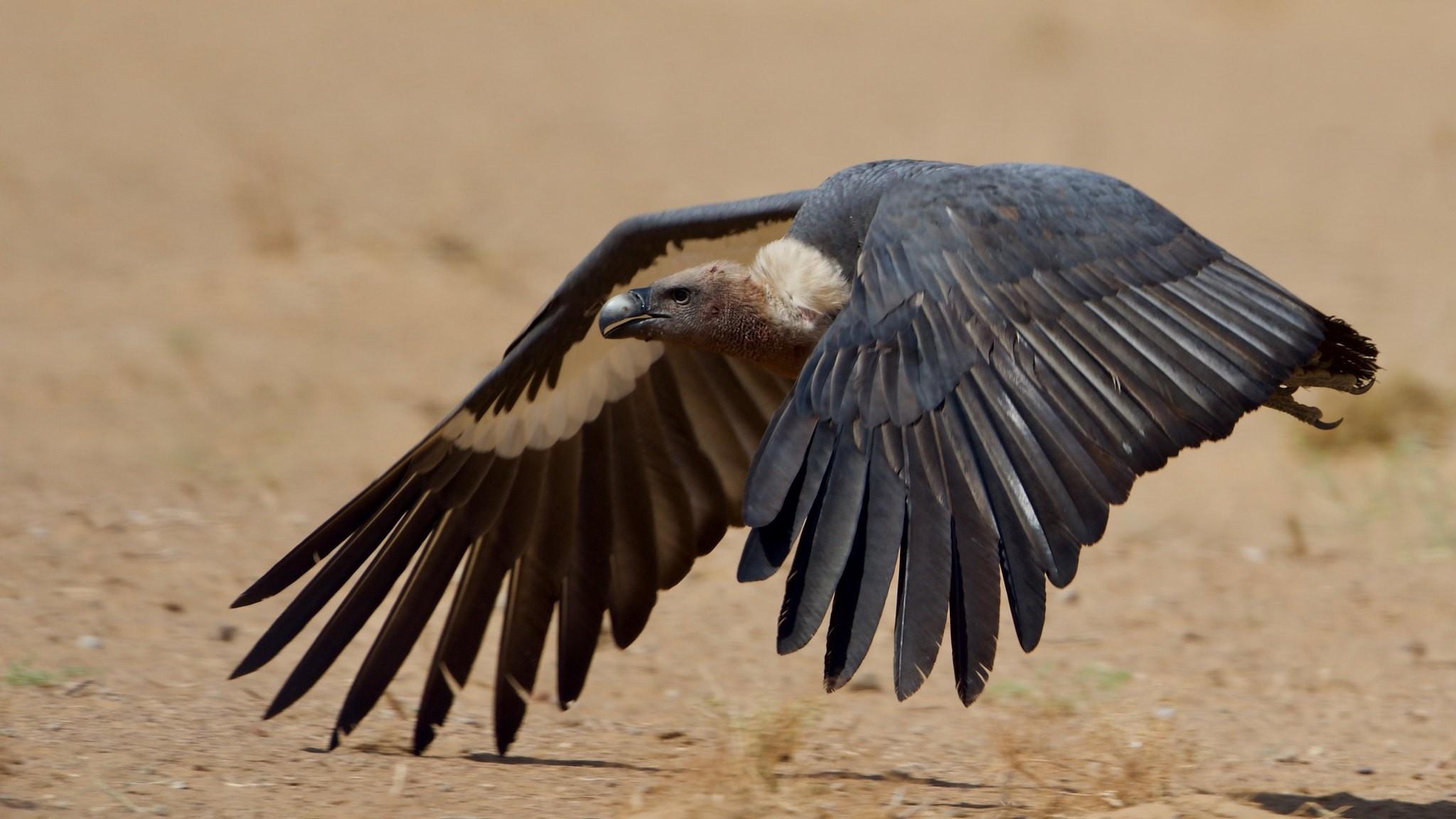 Distribution of Indian vultures