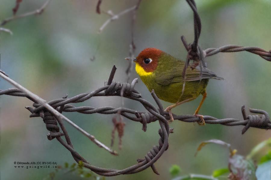 Birder Profile: Renju TR